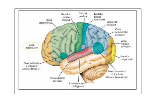 Regjionet funksionale në hemisferën e majtë të korteksit cerebral. Zona paraballore gjendet në pjesën e përparme të korteksit cerebral (Essentials of Anatomy & Physiology, Seeley and others, f. 210.)